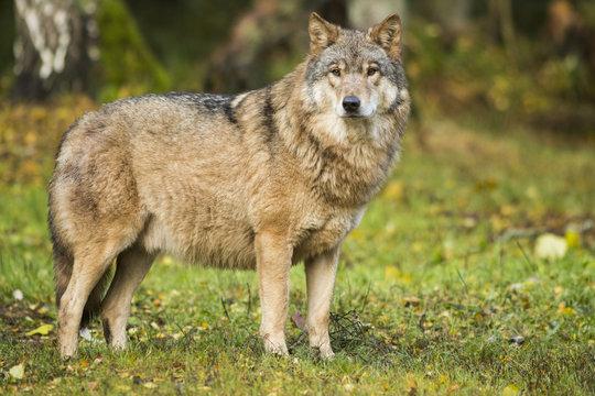 Full length view of wolf in field, Kurile Lake, Kamchatka Peninsula, Russia