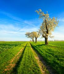 Fototapete - Landschaft im Frühling, Kirschbäume in voller Blüte, Feldweg durch grüne Felder, Abendlicht