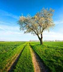 Fototapete - Landschaft im Frühling, Großer Kirschbaum in voller Blüte, Feldweg durch grüne Felder, Abendlicht