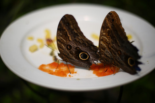 Butterflies rest on a dish during the official Inauguration of the month of the Monarch butterfly at Chapultepec Zoo in Mexico City
