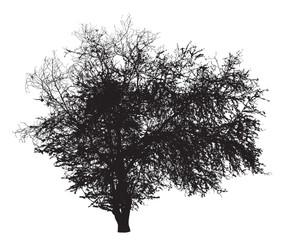 Tree silhouette : Ziziphus mauritiana