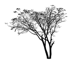 Flame Tree silhouette : Detailed vector