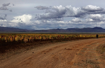 Quinoa plants are seen as part of the sweet quinoa promotion at the Canaviri district in La Paz