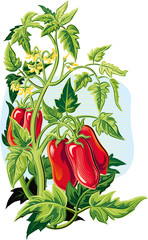 San Marzano tomato plant, with some fruits.