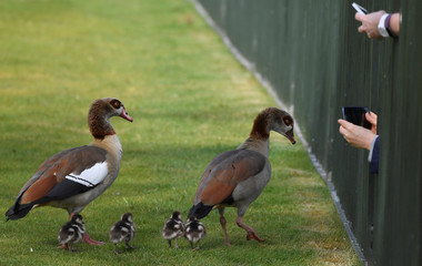 People record images of a family of ducks on their phones  through railings in Hyde Park in London, Britain
