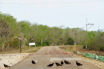 Vultures eat smashed crabs on a highway in Playa Giron, Cuba