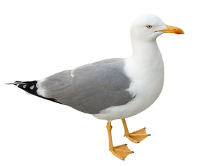 Seagull bird standing on its webbed feet. Frontal view, isolated on white background.