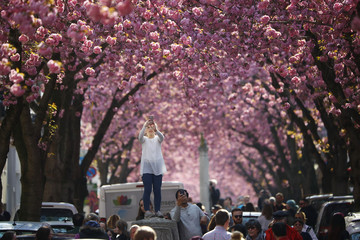 A tourist takes a picture at Heerstrasse flanked by pink cherry tree blossoms on Cherry Blossom Avenue in downtown Bonn