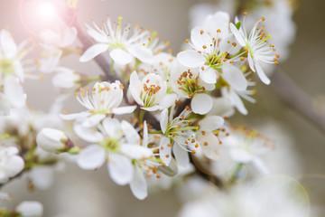 Blühender Strauch im Frühling mit Blüten