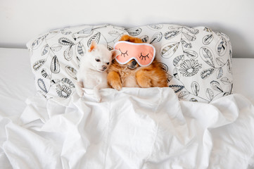 Cute, funny red pomeranian female puppy lying on back in sleeping mask together with chihuahua male on pillows on sofa covered by blanket. Good night. Lovely couple. Dogs resting. Pets. Unity. Animals