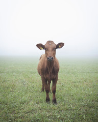 Portrait of cow standing on field in foggy weather