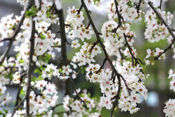 Branches of a flowering tree with a garden.