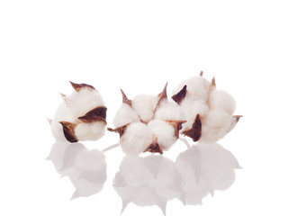 cotton flowers on white background with reflection