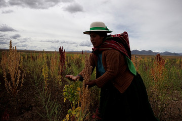 An Aymara woman shows quinoa plants as part of the sweet quinoa promotion at the Canaviri
