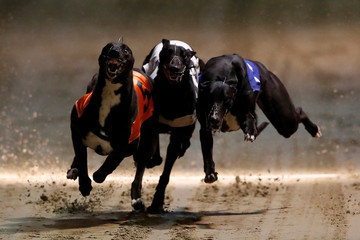 Greyhounds compete during a race at Wimbledon Stadium in London