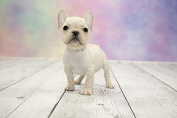 French Bulldog with colorful springtime background