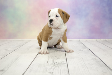 Victorian Bulldog with colorful springtime background
