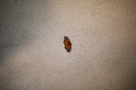 A Monarch butterfly rests on the floor during the official Inauguration of the month of the Monarch butterfly at Chapultepec Zoo in Mexico City