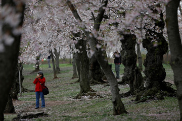 People photograph under the cherry blossoms near the Tidal Basin in Washington