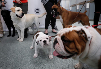 Labrador retrievers Reggie and Theo stand with bulldogs and a boxer at an AKC news conference in New York