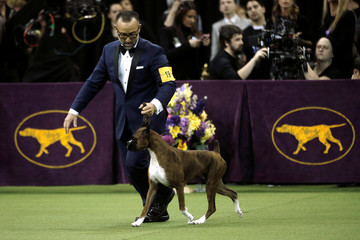 Devlin, a Boxer, and winner of the Working Group is run by her handler Diego Garcia during judging at the 141st Westminster Kennel Club Dog Show at Madison Square Garden in New York City
