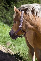 il cavallo nel prato verde
