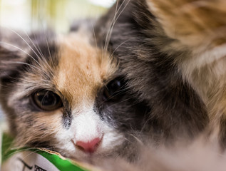 Closeup macro portrait of calico kitten with sad eyes looking