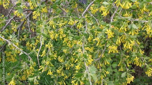 Branch Of Flowering Currant Swaying In Wind Yellow Flowers Currants