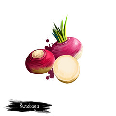 Digital art illustration of Rutabaga or Brassica napus isolated on white background. Organic healthy food. Red root vegetable. Hand drawn plant closeup. Clip art illustration. Graphic design element