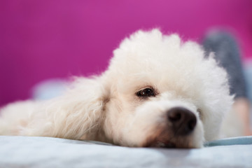 White poodle dog lay on bed