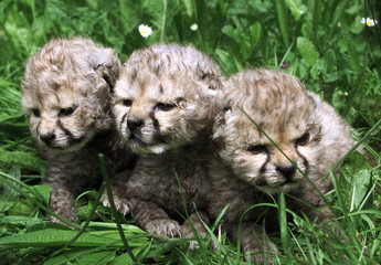 Ten-day-old baby cheetahs sit on grass in a zoo in the east Bohemian town of Dvur Kralove on July 26..