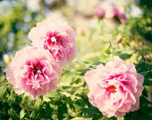 Vintage pink peonies in a garden
