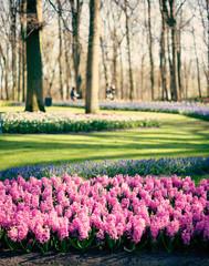 Vintage pink tulips in a garden