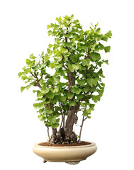Ginkgo Biloba Maidenhair Bonsai Tree