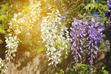 Blooming blue and white wisteria vine. Toned image