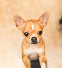 Close Up of Chihuahua Puppy