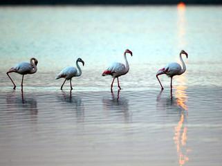 Flamingoes wade in the dawn light at Zeekoevlei nature reserve in Cape Town, June 20, 2003. Low wate..