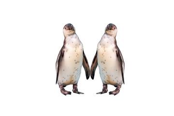 Humboldt Penguin isolated on white background.