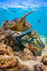 Wall Mural - Endangered Hawaiian Green Sea Turtle cruising in the warm waters of the Pacific Ocean in Hawaii