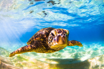Endangered Hawaiian Green Sea Turtle cruising in the warm waters of the Pacific Ocean in Hawaii