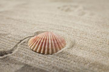 Seashell close up on sand background