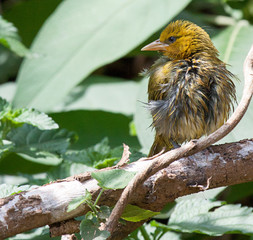 Yellow weaver bird with ruffled feathers