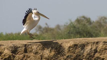 Landing white pelican