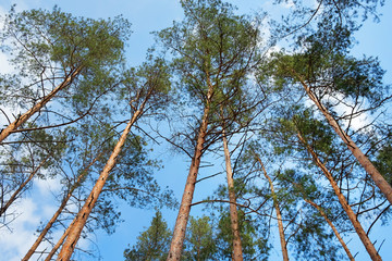 Pines against the background of the blue sky