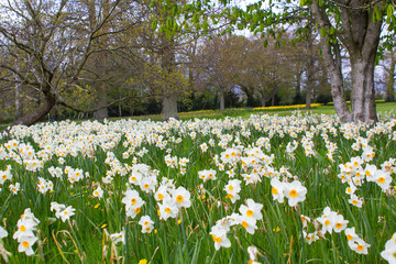 Beds of white narcissus and yellow daffodils in the public park in Barnett's Desmesne in late April just before the blooms finally fade away for another year