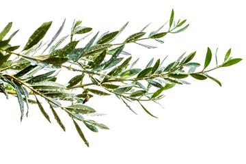 rameaux d'olivier sous la pluie, fond blanc