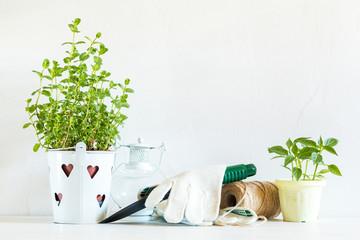 Spring gardening light concept. Fresh mint, pepper seedling in pots, hank of rope and gardening tools on a white table. White wall background.
