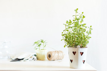 Spring gardening light concept. Fresh mint in pot on a white table, hank of rope, gardening tools and white wall background.