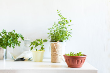 Spring gardening light concept. Fresh parsley in pot on a white table. Seedling in the pots, hank of rope, gardening tools and white wall background.