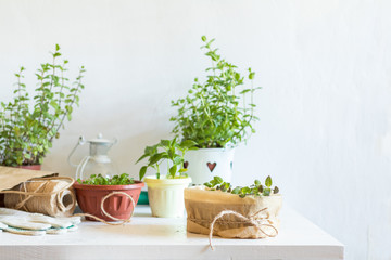 Spring gardening light concept. Fresh basil in pot on a white table. Seedling in the pots, hank of rope, gardening tools and white wall background.